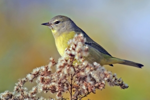 Orange-crowned Warbler, Glenhurst Meadows, NJ, Oct. 28, 2014 (photo by Joe Pescatore)