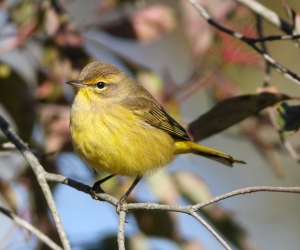 Palm Warbler, Troy Meadows, NJ, Oct. 5, 2014 (photo by Jonathan Klizas)