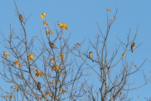 Purple Finches, Troy Meadows, NJ, Oct. 26, 2014 (photo by Jonathan Klizas)