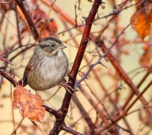 Swamp Sparrow, Troy Meadows, NJ, Oct. 18, 2014 (photo by Jonathan Klizas)
