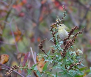 Tennessee Warbler, Great Swamp NWR, Oct. 19, 2014 (photo by Jonathan Klizas)
