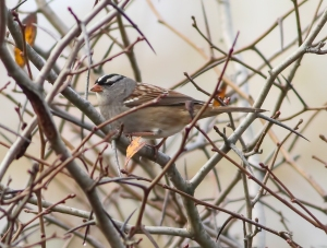 White-crowned Sparrow, Troy Meadows, NJ, Oct. 18, 2014 (photo by Jonathan Klizas)