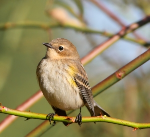 Yellow-rumped Warbler, Troy Meadows, NJ, Oct. 5, 2014 (photo by Jonathan Klizas)