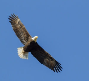 Bald Eagle, Chimney Rock, NJ, Nov. 3, 2014 (photo by Mike Newlon)