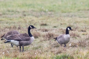 Canada and Cackling Goose, Lord Stirling Park, NJ, Nov. 12, 2014 (photo by Mike Newlon)