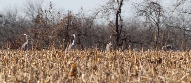 Sandhill Cranes, Franklin Twp., NJ, Nov. 21, 2014 (photo by Jonathan Klizas)