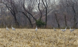 8 Sandhill Cranes, Franklin Twp., NJ, Nov. 22, 2014 (photo by Alan Boyd)