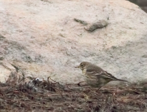American Pipit, Boonton Reservoir, NJ, Nov. 16, 2015 (photo by Jonathan Klizas)