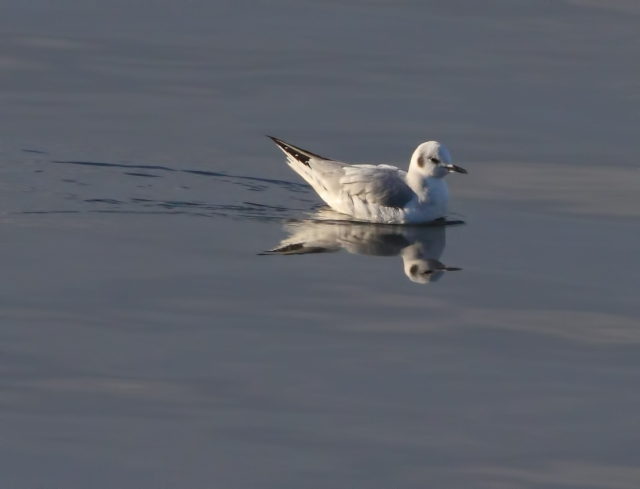 Bonaparte's Gull, Lk. Hopatcong, NJ, Nov. 29, 2014 (photo by Jonathan Klizas)