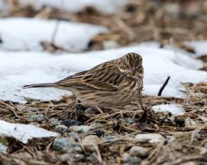 Vesper Sparrow, Hanover Twp., NJ, Nov. 29, 2014 (photo by Chuck Hantis)