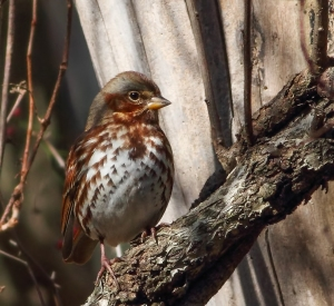 Fox Sparrow, Jonathan's Woods, NJ, Nov. 8, 2014 (photo by Jonathan Klizas)
