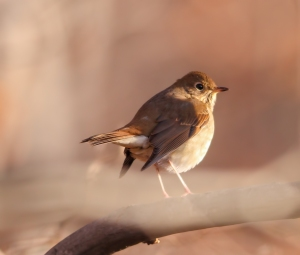 Hermit Thrush, Timberbrook Lake, Rockaway Twp., NJ, Nov. 8, 2014 (photo by Jonathan Klizas)