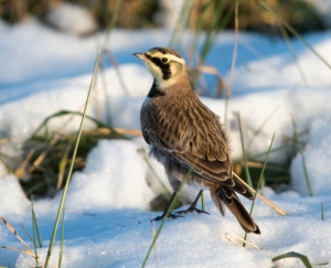 Horned Lark, Hanover Twp., NJ, Nov. 28, 2014 (photo by Chuck Hantis)