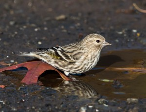 Pine Siskin, Glenhurst Meadows, NJ, Nov. 3, 2014 (photo by Chuck Hantis)