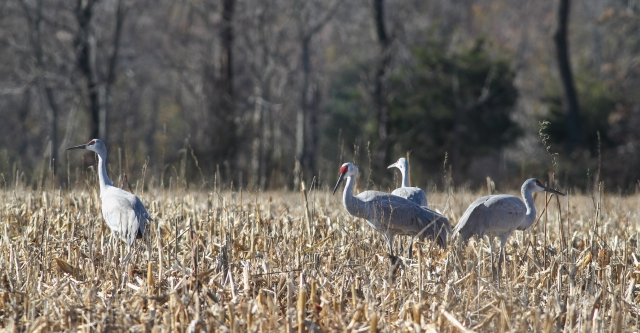 Sandhill Cranes, Franklin Twp., NJ, Nov. 18, 2014 (photo by Jonathan Klizas)