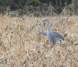 Sandhill Cranes, Franklin Twp., NJ, Nov. 11, 2014 (photo by Jonathan Klizas)