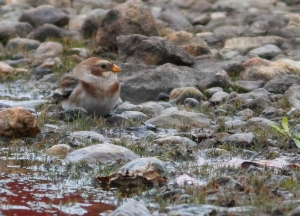 Snow Bunting, Budd Lake, NJ, Nov. 5, 2014 (photo by Jonathan Klizas)