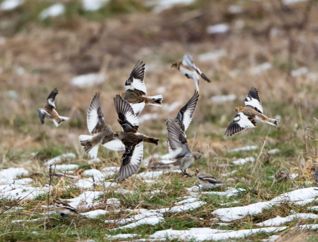 Snow Buntings, Hanover Twp., NJ, Nov. 30, 2014 (photo by Chuck Hantis)