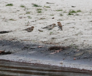 Snow Buntings, Budd Lake, NJ, Nov. 5, 2014 (photo by Jonathan Klizas)