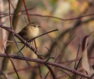Winter Wren, Troy Meadows, NJ, Nov. 9, 2014 (photo by J. Klizas)