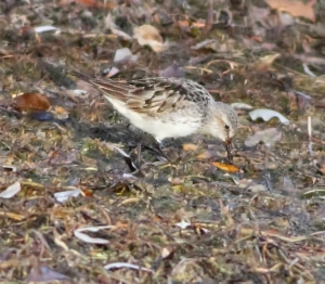 White-rumped Sandpiper, Mt. Olive, NJ, Nov. 15, 2014 (photo by Jonathan Klizas)