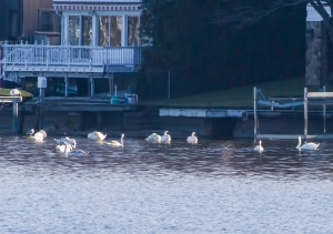 3 of 4 Tundra Swans, Lake Hopatcong, NJ, Dec. 27, 2014 (photo by Jonathan Klizas)