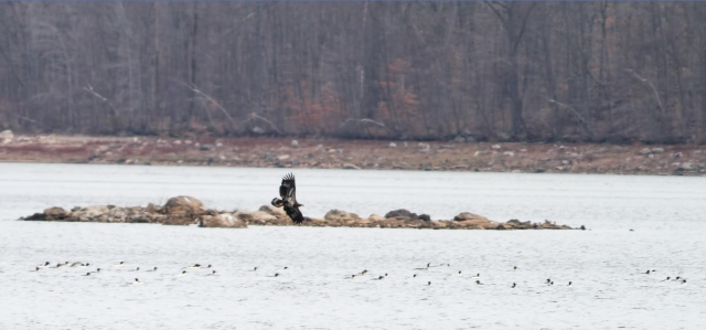 Bald Eagle at Split Rock Reservoir, NJ, Dec. 14, 2014 (photo by Jonathan Klizas)