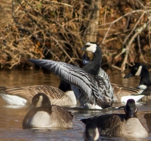 Barnacle Goose, Duke Island Park, NJ, Dec. 26, 2014 (photo by Jonathan Klizas)