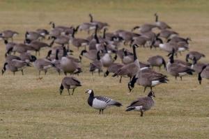 Barnacle Goose, Duke Island Park, NJ, Dec. 25, 2014 (photo by Sam Galick)