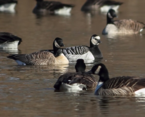 Cackling and Barnacle Goose, Duke Island Park, NJ, Dec. 26, 2014 (photo by Jonathan Klizas)