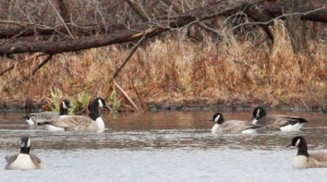 Cackling Goose with Canada Geese, Morristown, NJ, Dec. 25, 2014 (photo by Jonathan Klizas)