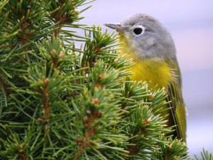 Nashville Warbler, Madison, NJ, Dec. 11, 2014 (photo by Corey Dwyer)
