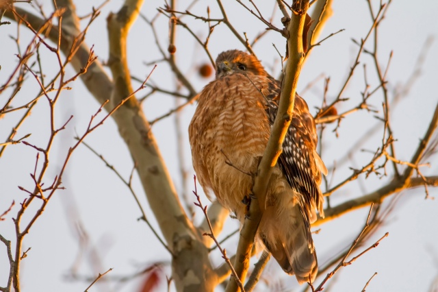 Red-shouldered Hawk, Lincoln Park, NJ, Dec. 4, 2014 (photo by Jill Homcy)