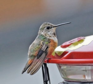 Female Rufous Hummingbird, Warren  Twp., NJ, Dec. 20, 2014 (photo by Joe Pescatore)