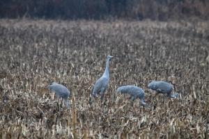 Sandhill Cranes, Franklin Twp., NJ, Dec. 6, 2014 (photo by Jim Mulvey)