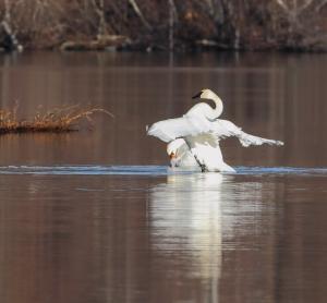 Mute Swan and Trumpeter Swan, Mt. Hope Lake, NJ, Dec. 27, 2014 (photo by Jonathan Klizas)