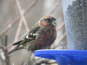 White-winged Crossbill, Flanders, NJ, Dec. 23, 2014 (photo by Alan Boyd)