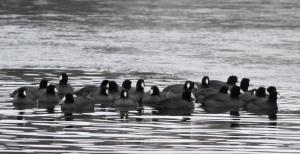 American Coot, Lake Hopatcong, NJ,  Jan. 11, 2015 (photo by Jonathan Klizas)