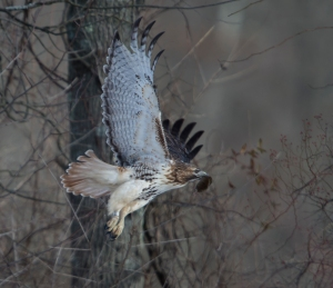 Banded Red-tailed Hawk, Great Swamp NWR, NJ, Jan. 25, 2015 (photo by Chuck Hantis)