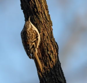 Brown Creeper, D&R Towpath, Franklin Twp., NJ, Jan. 15, 2015 (photo by Jonathan Klizas)