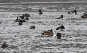 Canvasback, et al, Lake Hopatcong, NJ, Jan. 14, 2015 (photo by Jonathan Klizas)