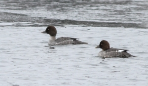 Common Goldeneye, Lake Hopatcong, NJ,  Jan. 11, 2015 (photo by Jonathan Klizas)