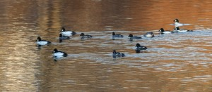 Common Goldeneye, D&R Towpath, Franklin Twp., NJ, Jan. 15, 2015 (photo by Jonathan Klizas)