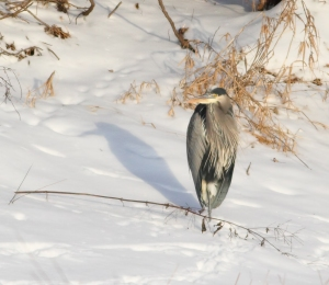 Great Blue Heron, Branchburg Twp., NJ, Jan. 28, 2015 (photo by Jonathan Klizas)