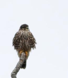 Merlin, Great Swamp NWR, Jan. 19, 2015 (photo  by Jonathan Klizas)