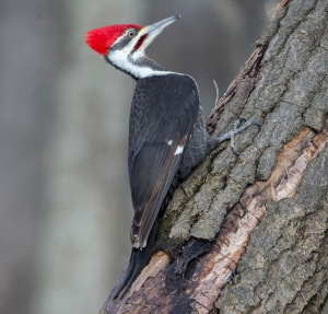 Pileated Woodpecker, Great Swamp NWR, NJ, Jan. 25, 2015 (photo by Chuck Hantis).