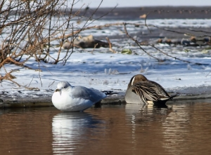 Ring-billed Gull, Northern Pintail, Loantaka Brook Reservation, NJ, Jan. 10, 2015 (photo by Jonathan Klizas)