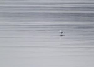 Ring-billed Gull, Lake Hopatcong, NJ, Jan. 14, 2015 (photo by Jonathan Klizas)