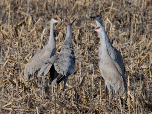 Sandhill Cranes, Franklin Twp., NJ, Jan. 8, 2015 (photo by Jim Mulvey)