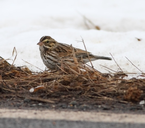 Savannah Sparrow, Hillsborough Twp., NJ, Jan. 30, 2015 (photo by Jonathan Klizas)